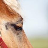 красный цвет лошади глаза Стоковое Изображение
