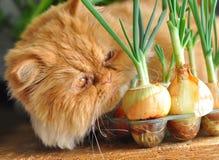 красный цвет лука кота Стоковые Изображения RF
