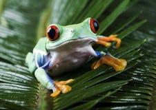 красный цвет лягушки глаза Стоковое Изображение RF