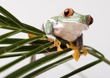красный цвет лягушки глаза Стоковая Фотография