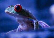 красный цвет лягушки глаза Стоковые Изображения RF