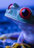 красный цвет лягушки глаза Стоковое Изображение