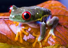 красный цвет лягушки глаза стоковые изображения