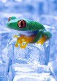 красный цвет лягушки Стоковые Фотографии RF