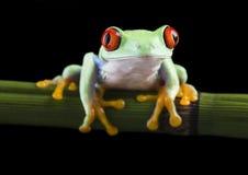 красный цвет лягушки Стоковые Изображения