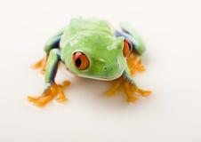 красный цвет лягушки Стоковая Фотография