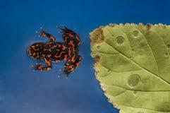 красный цвет лягушки Стоковое Изображение