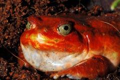 красный цвет лягушки Стоковое фото RF