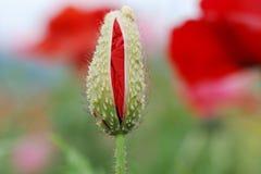 красный цвет мака бутона Стоковые Изображения