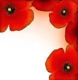 красный цвет мака граници Стоковое Фото