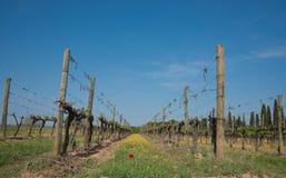 красный цвет мака гребет виноградник Стоковая Фотография RF