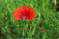 красный цвет мака зеленого цвета травы Стоковые Фото