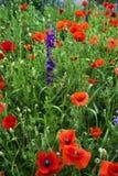красный цвет мака зеленого цвета травы Стоковое фото RF