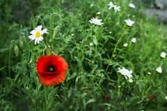 красный цвет мака зеленого цвета травы Стоковое Изображение RF