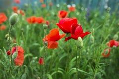 красный цвет мака зеленого цвета травы Стоковая Фотография RF