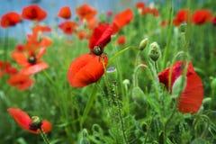 красный цвет мака зеленого цвета травы Стоковые Изображения RF