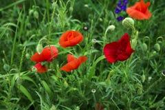 красный цвет мака зеленого цвета травы Стоковое Изображение