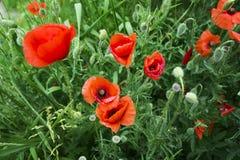 красный цвет мака зеленого цвета травы Стоковые Изображения