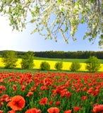 красный цвет мака поля Стоковая Фотография