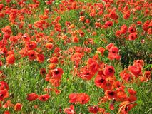 красный цвет мака поля стоковое изображение