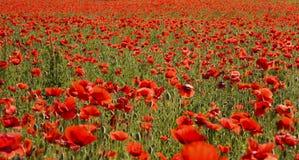 красный цвет мака поля Стоковое фото RF