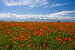 красный цвет мака поля Стоковые Изображения RF