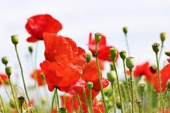красный цвет мака поля Стоковое Фото