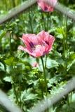 красный цвет мака цветка Стоковая Фотография RF