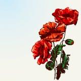 красный цвет мака цветка Стоковые Фотографии RF