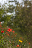 красный цвет мака Стоковое Изображение
