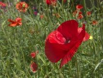 красный цвет мака Стоковое Изображение RF