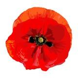 Красный цвет мака Стоковая Фотография