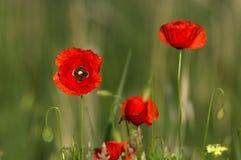 красный цвет мака Стоковое фото RF