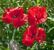 красный цвет 3 маков стоковые фото