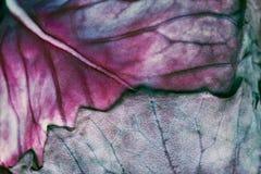 красный цвет макроса капусты Стоковая Фотография RF