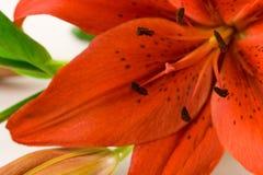 красный цвет макроса лилии Стоковые Изображения