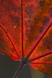 красный цвет макроса листьев Стоковое Изображение RF