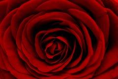 красный цвет макроса поднял Стоковые Фото