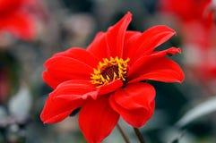 красный цвет макроса цветка Стоковые Изображения RF