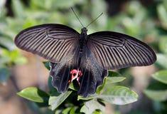 красный цвет макроса черной бабочки китайский Стоковая Фотография