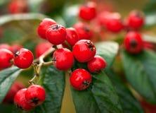 красный цвет макроса ягод стоковая фотография