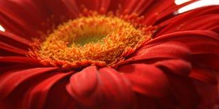 красный цвет маргаритки крупного плана Стоковое Фото