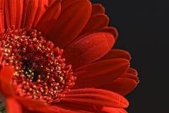 красный цвет маргаритки Стоковые Изображения