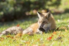 красный цвет Минесоты близкой лисицы северный сфотографированный вверх Стоковые Фото