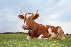 красный цвет молока коровы Стоковое Изображение RF