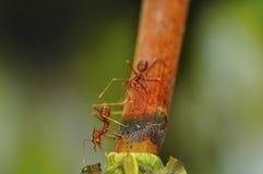 красный цвет 2 муравеев Стоковая Фотография RF