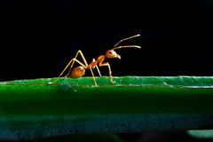 красный цвет муравея одного Стоковое Изображение