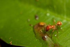 красный цвет муравея Стоковое Изображение RF