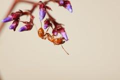 красный цвет муравея Стоковое Фото