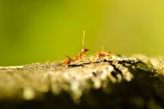 красный цвет муравея Стоковая Фотография